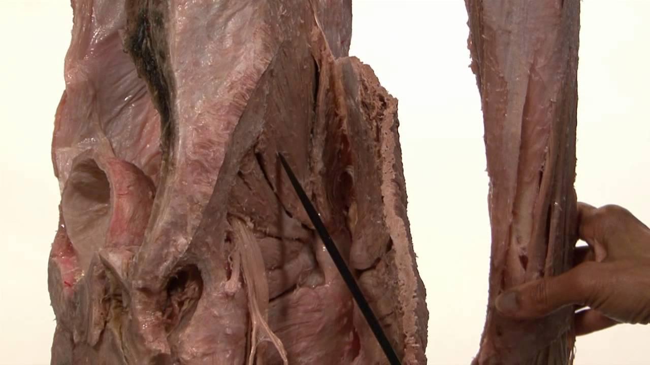 Innervation of Lower Limb |shakti chandra anatomy