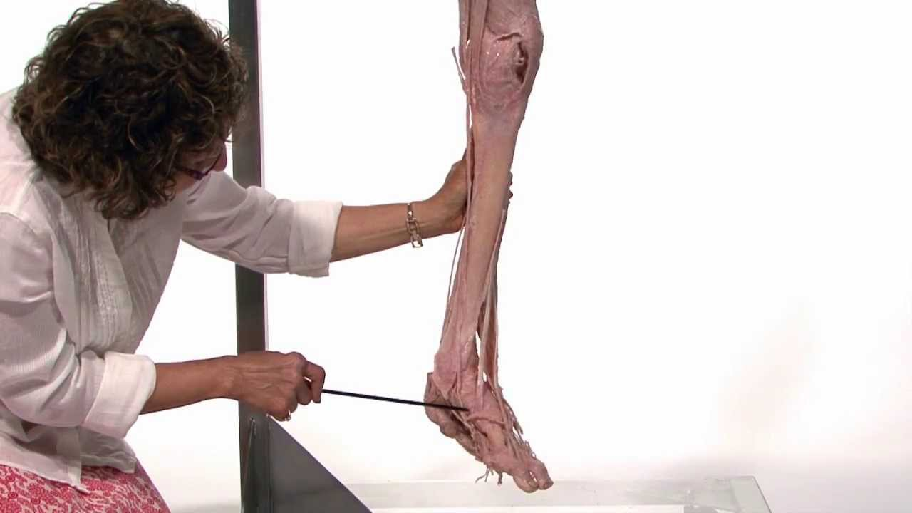 muscle of lower limb anatomy ser