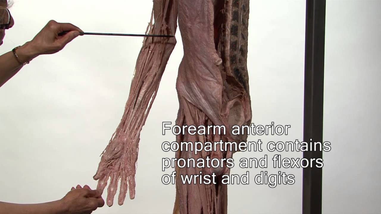 muscle of upper limb anatomy ser