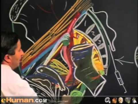 pelvis anatomy 2video lecture