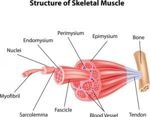 muscle physiology study notes 300x234