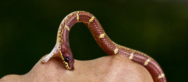 Treat a Snake Bite Step