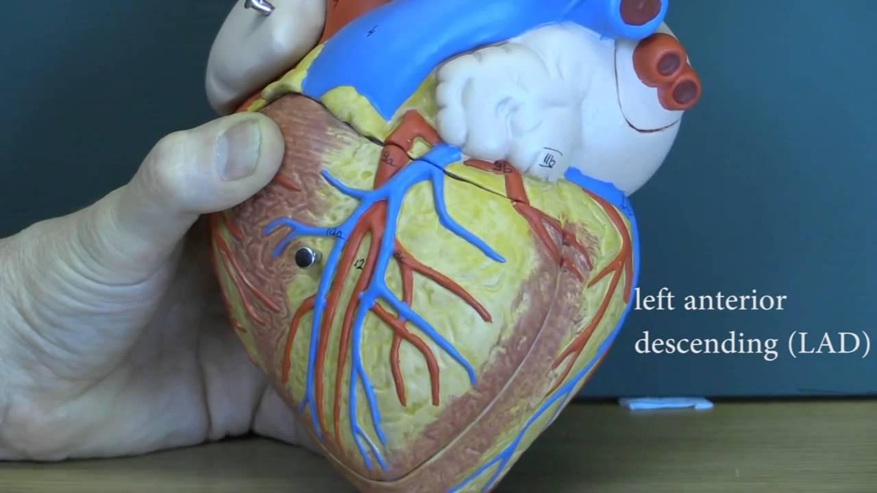 Blood Vascular System Videos by John Campbell